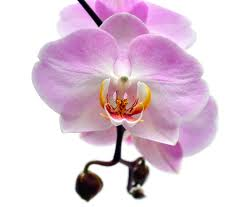 3. Purple Orchid