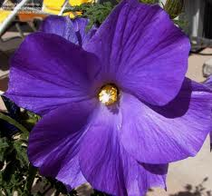4. Purple Hibiscus