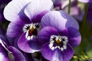 3. Pretty Pansies