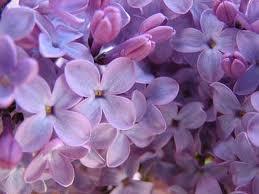 7. Purple Lilac
