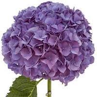 9. Purple Hydrangea